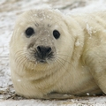 The Grey Seals of Donna Nook