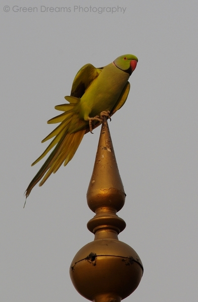Rose Ringed Parakeet - Agra Fort