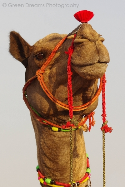 Portrait of a Camel - Pushkar Fair