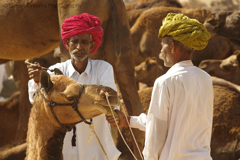 Camel Traders - Pushkar Fair