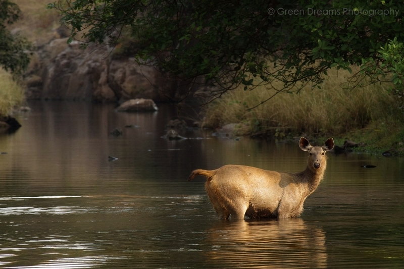 Sambar Deer - Ranthambhore National Park